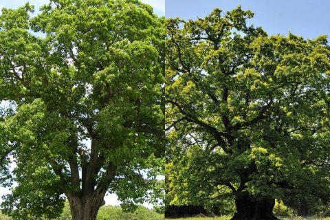 European and American cut to size oak